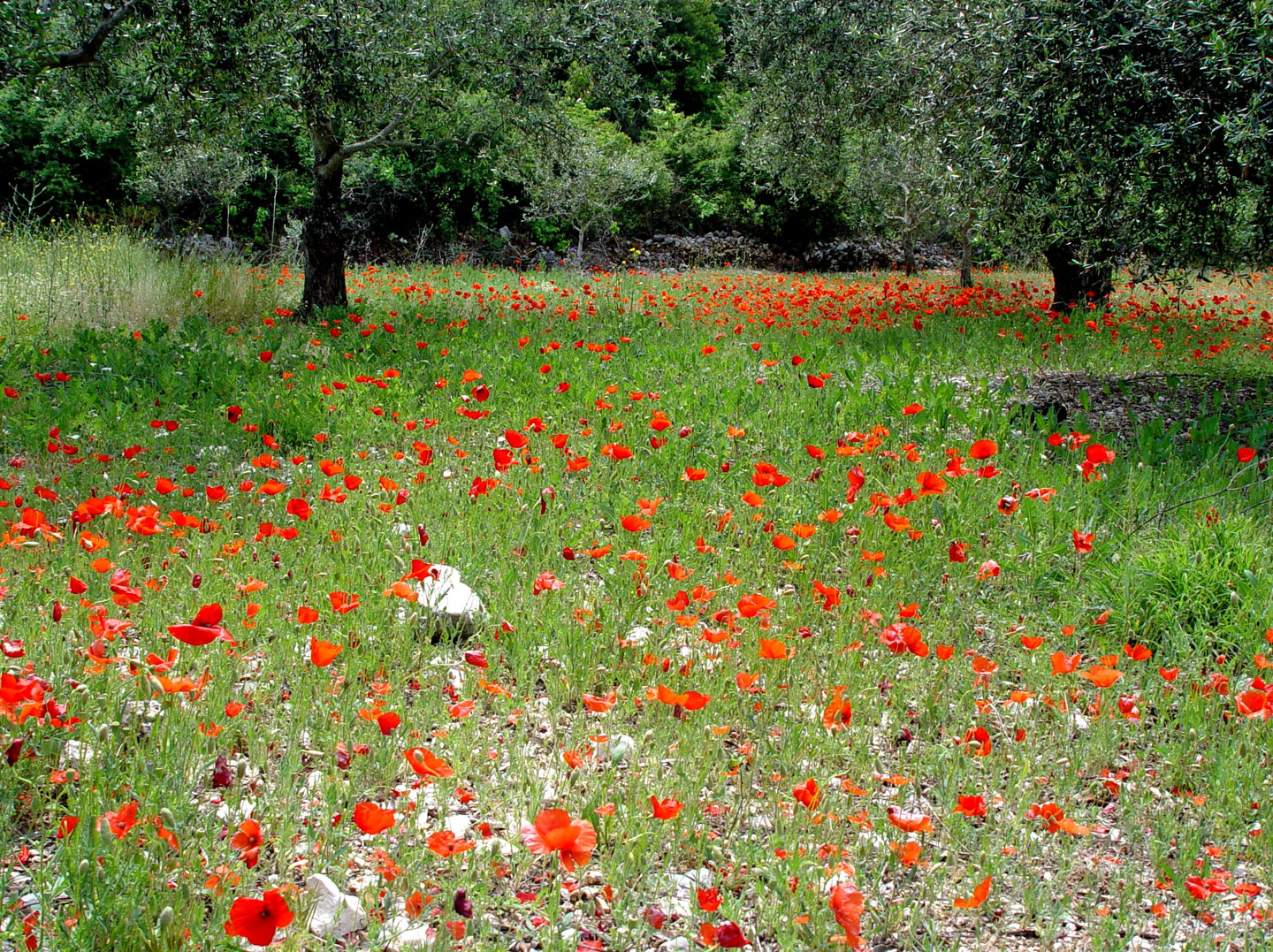 Field of poppies, spring in Lefkada