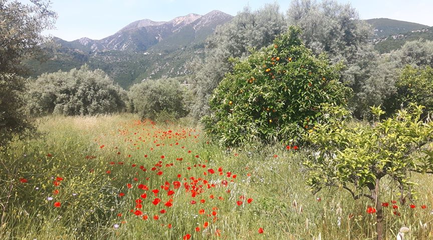 Field with poppies | Spring in Lefkada